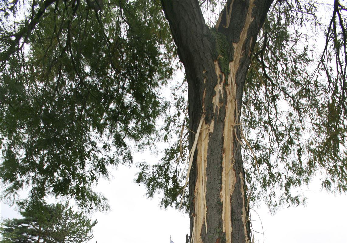 Шрам от молнии на стволе дерева